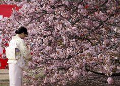 日本初春四月賞 漫天櫻雪靜謐放肆之美 - Reuters