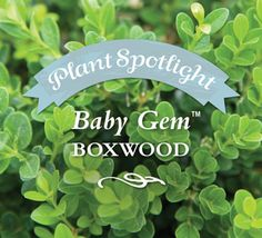 This fine-textured broadleafed evergreen grows as tall as it is wide reaching a maintainable size of 3 feet and resembling a little green muffin. It's an exceptionally compact boxwood excellent for use in smaller gardens for borders and focal areas.