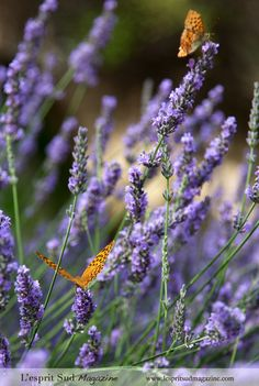 Lavender from Provence.  Repinned by www.mygrowingtraditions.com
