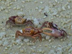 fiddler crab fight bunche beach fort myers sanibel