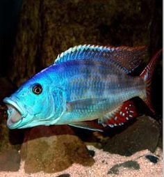 ... Profile 1 x nimbochromis livingstonii price- 19 $ african cichlids