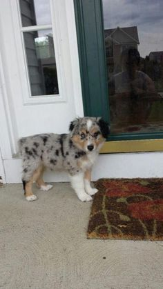 Everything I admire about the Intelligent Australian Shepherd Puppies Australian Shepherd Puppies, Aussie Puppies, Cute Dogs And Puppies, Australian Cattle Dog, I Love Dogs, Doggies, Mini Aussie Puppy, Mini Australian Shepherds, Aussie Shepherd