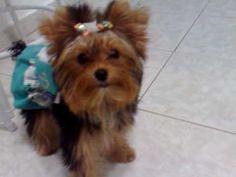 Yorkshire inteligente pega varios brinquedos - Vicky Nina - Yorkshire Terrier