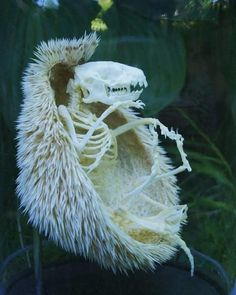 Bone-chilling pics show Mother Nature at her most sinister This hedgehog is long-dead, but its spooky skeleton is well preserved, inside the remains of its protective spiky coat Animal Skeletons, Animal Skulls, Axolotl, Nature Design, Nature Nature, Photos Rares, A Hedgehog, Animal Bones, Animal 2