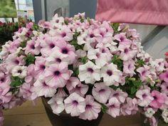 Hot New Varieties From Suntory Flowers Begonia, Petunias, Peony, Stamps, Hot, Flowers, Plants, Seals, Peonies