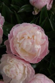 Peony 'Shirley Temple' ~ OPr