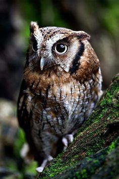 Owl - The Portrait - by Max Rinaldi