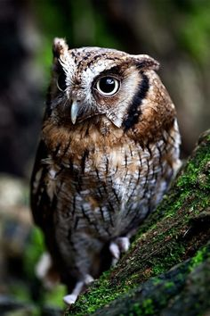 Owl - The Portrait - by Max Rinaldi