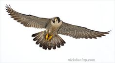 flying falcon - Google Search
