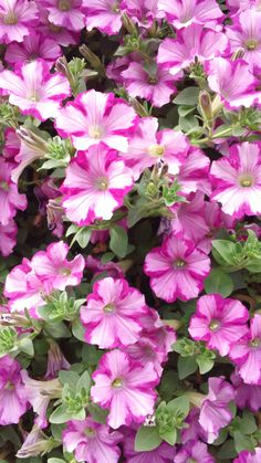 raspberry blast petunia Container Plants, Container Gardening, Gardening Tips, Petunia Plant, Cape Gooseberry, Wonderful Flowers, Geraniums, Mother Nature, Flower Power