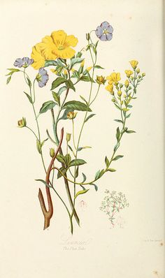 """1868 - Illustrations of the natural orders of plants with groups an. by Elizabeth Twining - """"The Flax Tribe"""" Vintage Flower Prints, Vintage Botanical Prints, Botanical Drawings, Botanical Art, Vintage Flowers, Nature Illustration, Floral Illustrations, Botanical Illustration, Plant Sketches"""