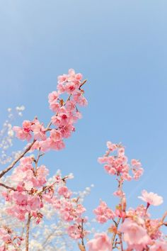 Cerise Blossoms - My site Frühling Wallpaper, Spring Wallpaper, Flower Background Wallpaper, Cute Wallpaper Backgrounds, Flower Backgrounds, Cute Wallpapers, Pink Blossom Tree, Cherry Blossom Wallpaper, Wallpapers Flowers