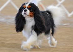 Tri-Colored Cavalier King Charles Spaniel ♥ ♥ What a Beauty. ♥ ♥