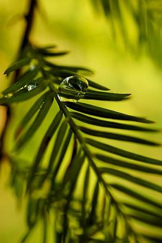 Macro photo taken of a waterdrop on pine needles in a local park after a rain shower and converted to the monochromatic format. Macro Photography, Creative Photography, Landscape Photography, Tiny World, Pine Needles, Water Drops, Fine Art America, Monochrome, Photographs