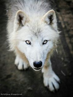 White wolf http://www.ebay.com/usr/debsshirtopia