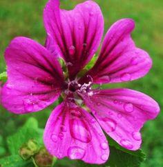 NC flower