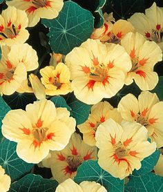 "Nasturtium - ""Peach Melba""  Bright creamy yellow blossoms with maroon blotches near the centers. The plants are compact, with blue-grey foliage.  lifecycle: Annual   Uses: Beds, Borders, Container   Sun: Full Sun   Height: 10-12  inches  Spread: 10-12  inches  Sowing Method: Direct Sow/Indoor Sow   Bloom Duration: 10  weeks"