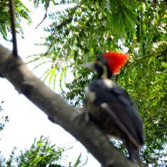 Carpintero copete rojo en árbol de Lorito