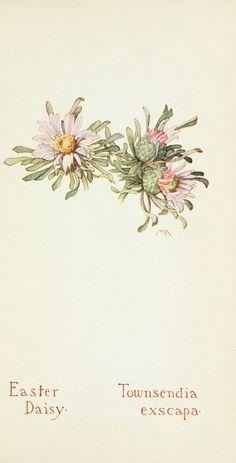 Field book of western wild flowers - Easter Daisy