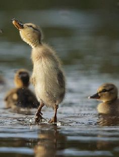 Baby Ducks in the water. Cute Baby Animals, Farm Animals, Animals And Pets, Funny Animals, Beautiful Birds, Animals Beautiful, Animal Pictures, Cute Pictures, Baby Ducks