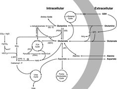 Newer aspects of glutamine/glutamate metabolism: the role of acute pH changes | Renal Physiology