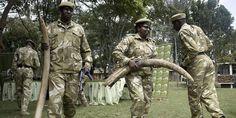 Commerce d'ivoire - 22/06/2012    Au Kenya, 1179 braconniers présumés ont été arrêtés depuis le début de l'année et 40 fusils, 770 cartouches de munitions avec Anlong 90 morceaux de défenses d'éléphant pesant 665 kilogrammes confisqués. Le boom du commerce de l'ivoire entraînant ces découvertes en série.
