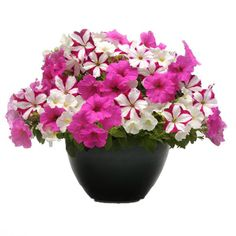 Are you looking for a unique flower for your garden? Fuseables Ooh La La Petunias are an excellent choice. Order today from Harris Seeds.