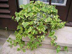 7 magical plants that will clean and purify the air in your home. Ivy Houseplant, Houseplants, Types Of Ivy, Plants For Hanging Baskets, Fast Growing Plants, Farmhouse Landscaping, Climbing Vines, Home Vegetable Garden, Drought Tolerant Plants