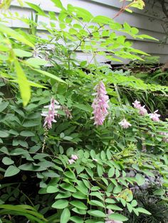 Indigofera kirilowii (Chinese Indigo)  loves the southside of our house that had nice mid-day sun. It has been blooming for a couple of months now.