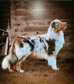 Aussie Dogs, Australian Shepherd Dogs, Dog Wallpaper, Dogs And Puppies, Doggies, Blue Merle, Family Dogs, Working Dogs, Fur Babies