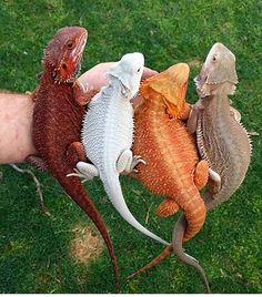 Dragon-Tailed Lizards