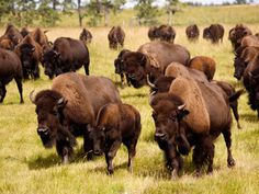 bison, I want some.
