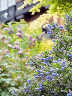 California Lilac (from top native plants of So  Cal)  Lucky Californians who can grow this shrub! It has wonderful blue, fragrant flowers that appear in masses on the plants in late spring and early summer.  Name: Ceanothus spp.  Growing Conditions: Full sun and well-drained soil  Size: To 10 feet tall  Zones: 8-10