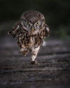 Little Owl, by Simon Wantling Wildlife Photography. 1DX Mark II, 600mm Mark II, ISO 4000, F4, 1/400 sec.