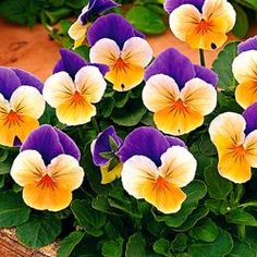 Viola - 'Penny Peach Jump Up' F1 Hybrid Bloom Time: Summer Germination: 10 -30 days Comments: A delightful viola with the unusual color combination of two purple upper petals above an attractively blushed peach and citrus orange face. Bushy plants flower over a very long period, looking spectacular in borders or containers. Zones: 7-9. Growth: 4-6in.