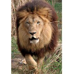 Big Cat Rescue Lion