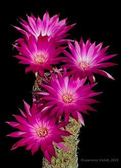 Echinopsis backebergii
