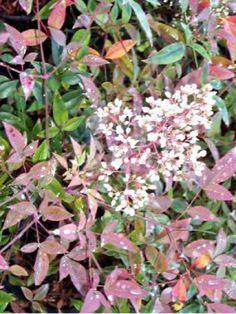 Arbuste au jeune feuillage rouge pourpre, ainsi que celui d'automne-hiver. Vers le milieu de l'été, grandes panicules de petites fleurs blanches étoilées, suivies, sous climats assez chauds, de fruits rouges sphériques.