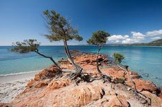 Four trees on the Palombaggia beach in south eastern Corsica
