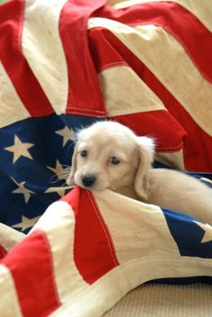 MERICA and a golden dachshund