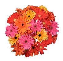 Gerbera Daisies - Assorted Bright Colors - 50 Stems (sams club) $49