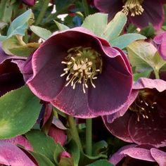 Winter Jewels Amethyst Glow Lenten Rose