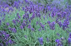 Σπέρνω αρωματικά φυτά και βότανα σε γλάστρες