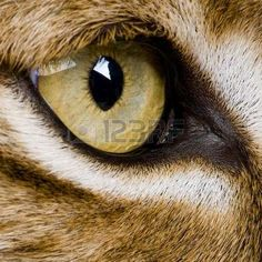 Photo about Close-up on a feline eye - Eurasian Lynx - Lynx lynx years old) in front of a white background. Image of creature, lynx, isolated - 9537748 Lynx Lynx, Eurasian Lynx, Bobcat Pictures, Pictures To Draw, Drawing Pictures, Animal Close Up, Leopard Eyes, Lion Eyes, Eye Close Up