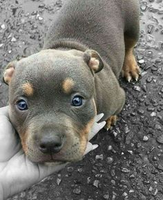 This pitbull puppy's markings are adorable and it's face is IRRESISTIBLE! www.bullymake.com