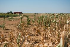Cracked earth: Drought around the world LICHTENBURG, SOUTH AFRICA South Africa, the continent's biggest corn producer, is suffering its worst drought since 1992. The nation is predicting a 32 percent drop in the 2015 harvest. (Pictured) Dried maize corn plants affected by drought.