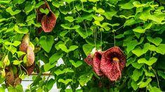 Mohou vám způsobit halucinace, otravu a téměř okamžitě i zabít. Toto jsou nejjedovatější rostliny - Strana 2 z 2 - Příroda je lék Herb Garden, Garden Pots, Yarrow Plant, Plants That Attract Butterflies, Globe Amaranth, Butterfly Bush, Flowering Vines, Flower Beds, Pansies