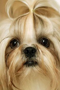 """Oh you caught me with no makeup!"" #dogs #pets #ShihTzus"