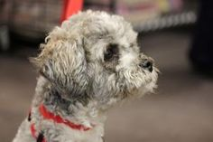 Rumpole Bailey is an adoptable Poodle Dog in Merrillville, IN. Rumpole Bailey was found as a stray and we had no idea what kind of dog was under all the furry mess... he looked like a janitors mop. W...