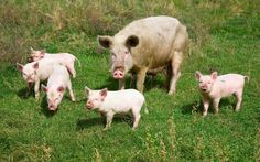 Farrowing sows three times per year can give a homesteader a good profit margin without resorting to intensive methods of hog production, according to this reader. Originally published as Hog Pig, Sheep Pig, Pig Pen, Pig Farming, Mother Earth News, Pet Pigs, Mini Farm, This Little Piggy, Hobby Farms